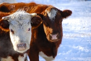 Cattle in snow for website banner  smaller